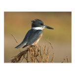 Belted Kingfisher Postcards