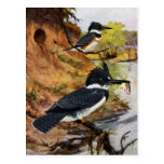 Belted Kingfishers and Their Nest Tunnel Postcard