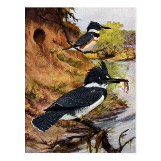 Belted Kingfishers and Their Nest Tunnel Post Cards