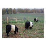 Beltie Cow Herd Along a Trail Greeting Cards