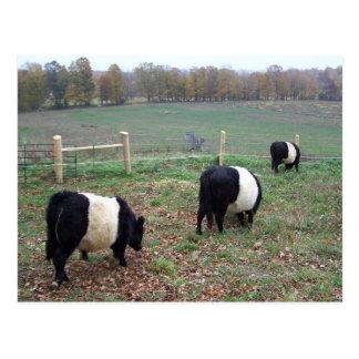 Beltie Cow Herd Along a Trail Postcard
