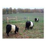 Beltie Cow Herd Along a Trail Postcards