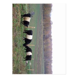 Beltie Cow Herd in Fall Postcards