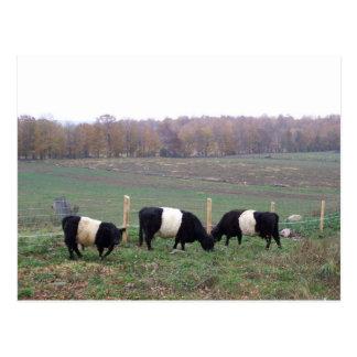 Beltie Cow Herd in Fall Post Card