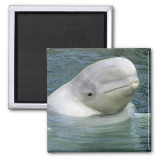 Beluga Whale, Delphinapterus leucas), Captive 2 Inch Square Magnet