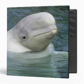 Beluga Whale, Delphinapterus leucas), Captive Binder
