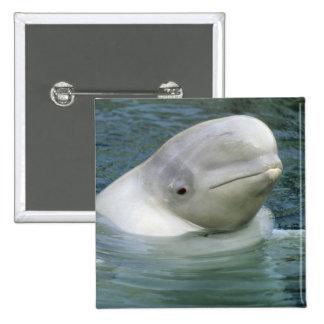 Beluga Whale, Delphinapterus leucas), Captive Button