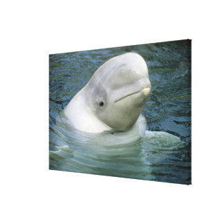 Beluga Whale, Delphinapterus leucas), Captive Canvas Print