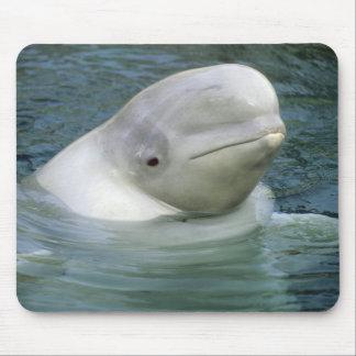 Beluga Whale, Delphinapterus leucas), Captive Mouse Pad
