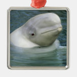 Beluga Whale, Delphinapterus leucas), Captive Square Metal Christmas Ornament