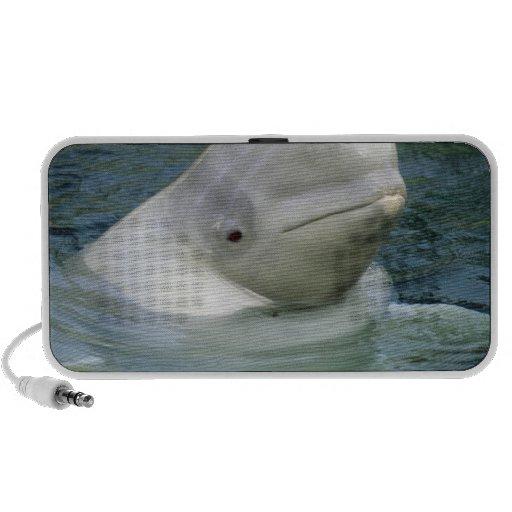 Beluga Whale, Delphinapterus leucas), Captive Travelling Speaker