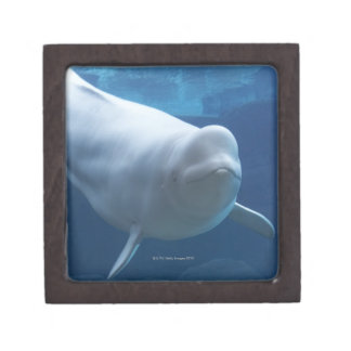 Beluga whale (Delphinapterus leucas) Keepsake Box