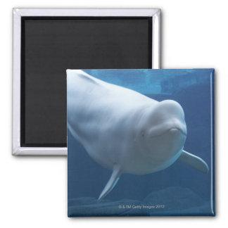 Beluga whale (Delphinapterus leucas) Magnet