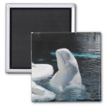 Beluga Whale Gifts 2 Inch Square Magnet