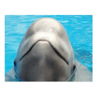 Beluga Whale Grin Postcard