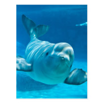 Beluga Whale Postcard