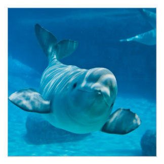Beluga Whale Print