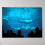 Beluga Whales III Posters
