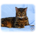 Bengal Cat 9W052D-023 print