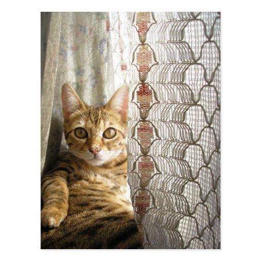Bengal Cat Postcard