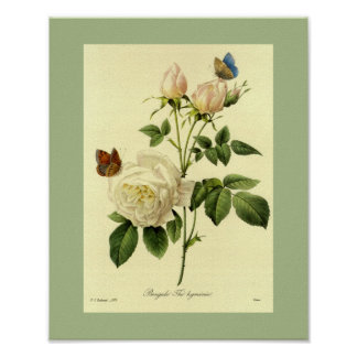 Bengal Rose 16 X 20 Poster