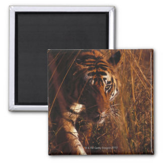 Bengal Tiger 2 Inch Square Magnet