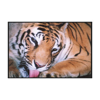 Bengal Tiger Cleaning Wrapped Canvas Print
