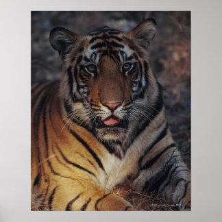 Bengal Tiger Cub Poster