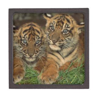 Bengal Tiger Cubs Gift Box