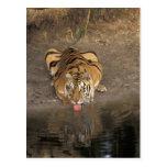 Bengal Tiger drinking Panthera tigris) Postcard