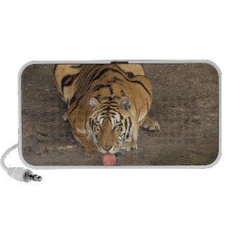 Bengal Tiger drinking Panthera tigris) Mp3 Speakers