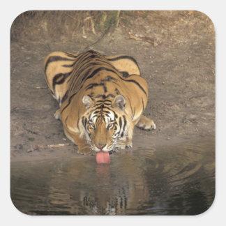 Bengal Tiger drinking Panthera tigris) Square Sticker