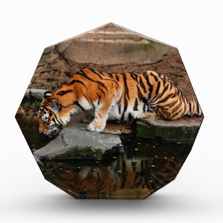 Bengal Tiger Gets A Drink Award