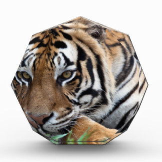 Bengal Tiger in grass Acrylic Award
