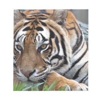 Bengal Tiger in grass Scratch Pads