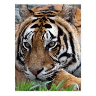 Bengal Tiger in grass Postcard