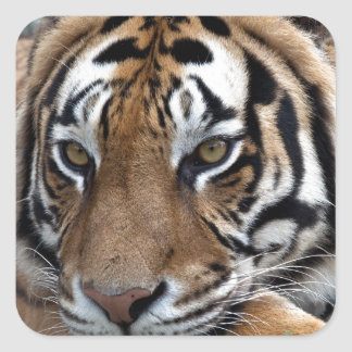 Bengal Tiger in grass Square Sticker