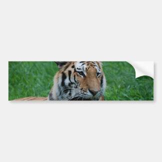 Bengal Tiger in India Bumper Sticker