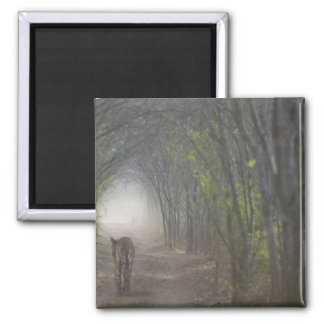 Bengal Tiger in the forest in Ranthambore Fridge Magnet
