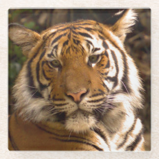 Bengal Tiger in Thought Glass Coaster