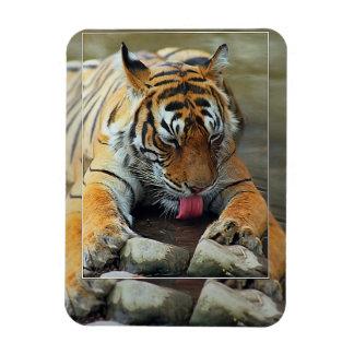 Bengal Tiger, India Rectangular Photo Magnet