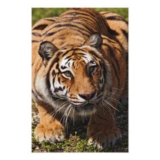 Bengal Tiger, Panthera tigris 2 Photo Print