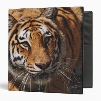 Bengal Tiger, Panthera tigris 3 3 Ring Binders