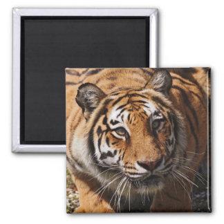 Bengal Tiger, Panthera tigris 3 Magnet