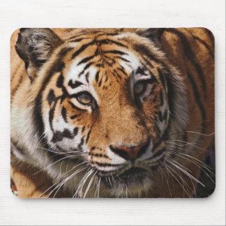 Bengal Tiger, Panthera tigris 3 Mouse Pad