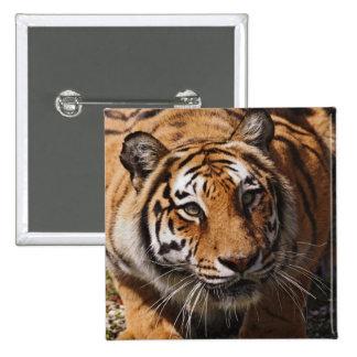 Bengal Tiger, Panthera tigris 3 Pinback Button