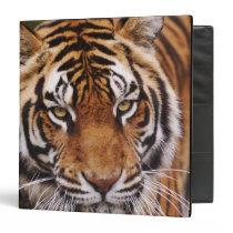 Bengal Tiger, Panthera tigris 3 Ring Binder