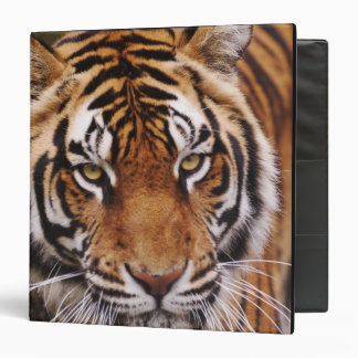 Bengal Tiger, Panthera tigris 3 Ring Binder