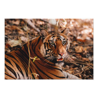 Bengal Tiger, Panthera tigris, Bandhavgarh 2 Photo Print