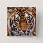 Bengal Tiger, Panthera tigris Button